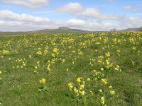 Cowslips in the Scar Edge