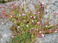 Herb Robert on limestone pavement.