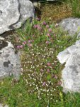 Wild Thyme (purple) and Eyebright (white) growing on limestone pavement.