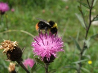 Common Knapweed with Bumblebee.