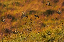 Goldfinches feeding on knapweed seedheads, the Crutching Close, Lower Winskill, September 2011.  Photo Andy Holden.