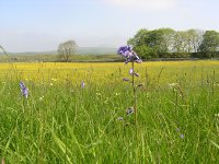 bluebells and buttercups Overing